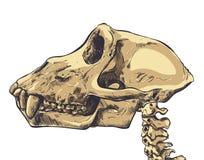 Ilustração de um crânio do macaco no fundo Vetor Imagem de Stock