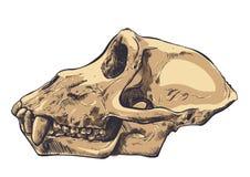 Ilustração de um crânio do macaco no fundo Vetor Fotos de Stock