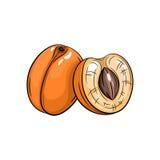 Ilustração do abricó do vetor no fundo branco Imagens de Stock Royalty Free