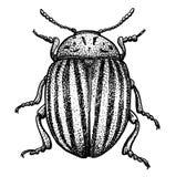 Ilustração do besouro de Colorado, gravura, tirando, tinta, vetor ilustração do vetor