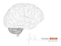 Ilustração do cérebro humano no fundo branco Fotografia de Stock