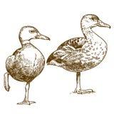 Ilustração do desenho da gravura de dois patos Imagem de Stock
