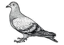 Ilustração do pombo, desenho, gravura, linha arte, realística, vetor ilustração do vetor