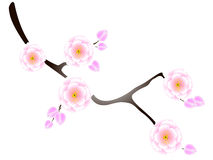 Ilustração do ramo de sakura Imagem de Stock