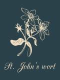 Ilustração do ramo do Wort de St Johns do vetor com flores Esboço botânico tirado mão da planta dos officinalis Erva medicinal Imagens de Stock