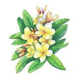 A ilustração do recurso tropical floresce o plumeria do frangipani ilustração royalty free