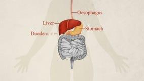 Ilustração do sistema digestivo etiquetado ilustração do vetor