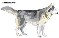 Ilustração do vetor do cão de puxar trenós Siberian Foto de Stock