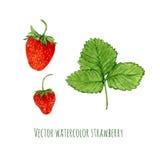 Ilustração do vetor com morango da aquarela Entregue a baga tirada para o mercado dos fazendeiros, tisana, projeto de produto do  Imagem de Stock