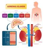 Ilustração do vetor das glândulas ad-renais Esquema etiquetado com tipos das hormonas ilustração stock
