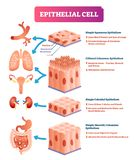 Ilustração do vetor das pilhas epiteliais Diagrama médico do lugar e do significado ilustração stock