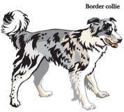 Ilustração do vetor de border collie Fotos de Stock Royalty Free