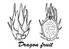 Ilustração do vetor de Dragon Fruit Ilustração botânica dos frutos Ilustração do vetor com fruto do esboço Fotos de Stock Royalty Free