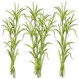 Ilustração do vetor de Sugar CaneSugar Cane Exotic Plant isolada no branco ilustração royalty free