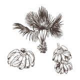 Ilustração do vetor do esboço do fruto da palmeira e da banana para o projeto, Web site, fundo, bandeira Desenho da mão floral so imagem de stock