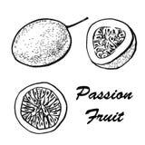 Ilustração do vetor do fruto de paixão Desenhos exóticos do vetor do fruto tropical isolados no fundo branco botanical Imagens de Stock