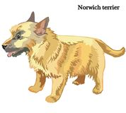Ilustração do vetor do terrier de Norwich Foto de Stock Royalty Free