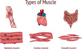 Ilustração do vetor do tipos de músculo Imagens de Stock Royalty Free