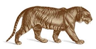 Ilustração do vintage de Tiger Vetora Engraving Imagens de Stock