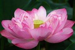 Ilustração do zen da flor dos lótus fotografia de stock royalty free