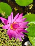 Ilustração do zen da flor dos lótus Imagens de Stock Royalty Free