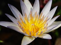 Ilustração do zen da flor dos lótus Foto de Stock Royalty Free