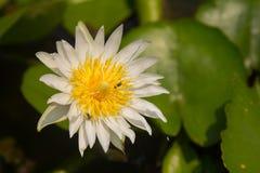 Ilustração do zen da flor dos lótus Imagem de Stock Royalty Free
