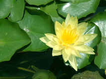 Ilustração do zen da flor dos lótus Fotos de Stock Royalty Free