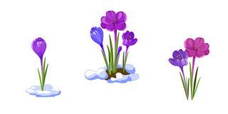 Ilustração dos açafrões Flores adiantadas da mola isoladas no fundo branco fotografia de stock royalty free