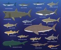 Ilustração grande do vetor dos desenhos animados da comparação do tamanho do tubarão imagens de stock royalty free