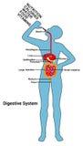 Ilustração humana do diagrama de sistema digestivo ilustração stock
