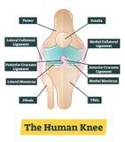 A ilustração humana do diagrama do vetor do joelho ilustração do vetor