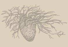 Ilustração humana do vetor do coração Fotografia de Stock
