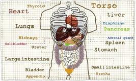 Ilustração interna da anatomia do torso ilustração stock