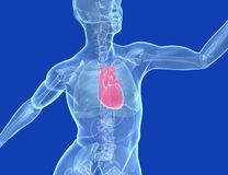 Ilustração médica 3d corpo humano transparente, coração ilustração do vetor