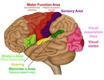 Ilustração médica das áreas funcionais do cérebro no fundo branco ilustração royalty free