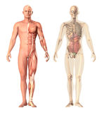 Ilustração médica de uma transparência humana da anatomia, vista O esqueleto, músculos, órgãos internos que mostram as peças sepa Foto de Stock Royalty Free
