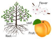 A ilustração mostra a parte das plantas do abricó Imagem de Stock Royalty Free