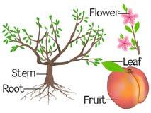 A ilustração mostra a parte das plantas do pêssego Imagens de Stock Royalty Free