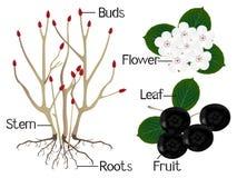 A ilustração mostra a parte das plantas pretas do melanocarpa de Aronia do chokeberry Imagem de Stock Royalty Free
