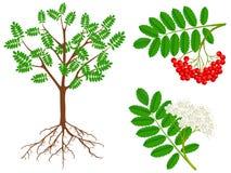 A ilustração mostra partes de uma planta de Rowan vermelho foto de stock royalty free