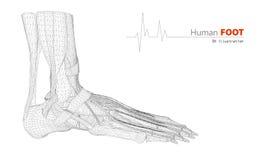 Ilustração na anatomia humana, fundo do pé Foto de Stock Royalty Free