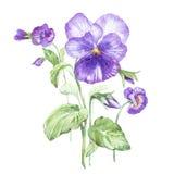 Ilustração na aquarela da flor do amor perfeito Cartão floral com flores Ilustração botânica ilustração do vetor