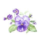 Ilustração na aquarela da flor do amor perfeito Cartão floral com flores Ilustração botânica ilustração royalty free