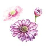 Ilustração na aquarela da flor do Gerbera Cartão floral com flores Ilustração botânica ilustração do vetor
