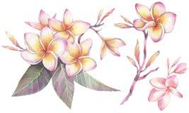 Ilustração pintado à mão da aquarela Grupo botânico com as flores do plumeria ilustração royalty free