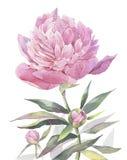 Ilustração pintado à mão da arte da aquarela Peônia cor-de-rosa ilustração do vetor