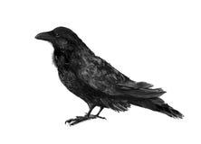 Ilustração preta do corvo Fotografia de Stock Royalty Free