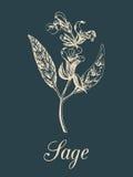 Ilustração prudente do vetor no estilo da gravura Esboço botânico tirado mão da erva culinária Salvia da planta da especiaria iso Imagens de Stock Royalty Free