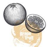 Ilustração realística do fruto da toranja isolada no CCB branco ilustração do vetor
